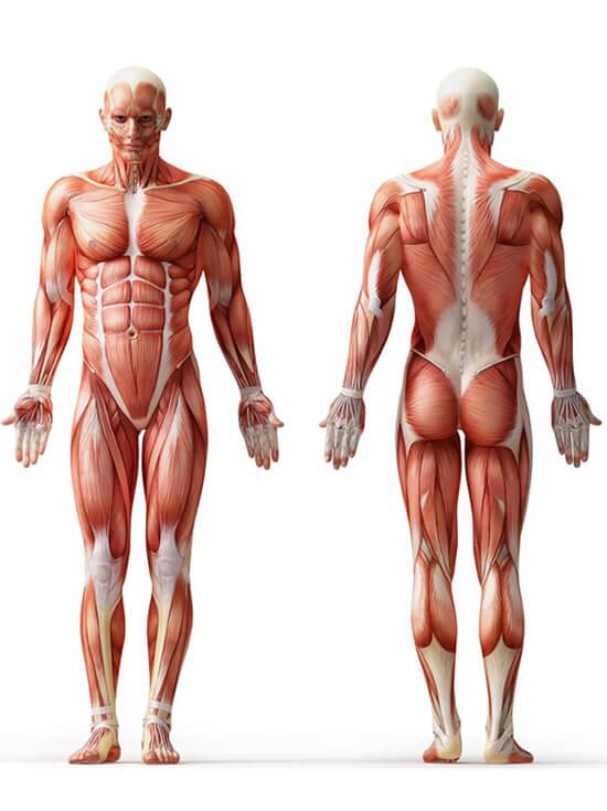 formation anatomie
