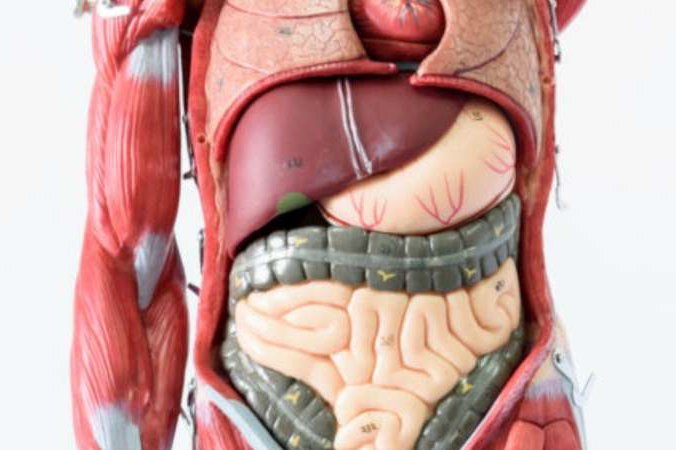 formation anatomie viscérale
